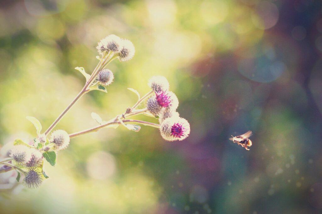 Biene im Anflug auf die Blüte einer Klette